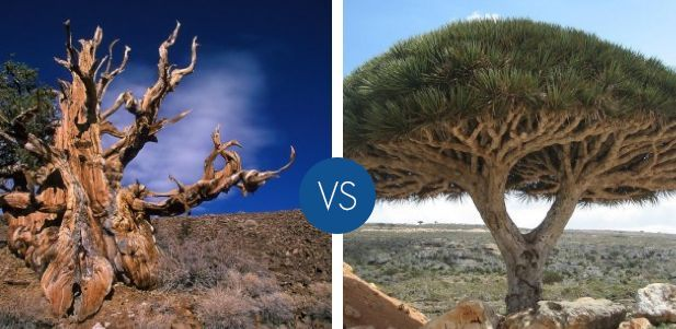 Qual è l'albero più strano al mondo?