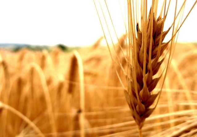 Frumento gluten friendly: il grano per chi soffre di celiachia