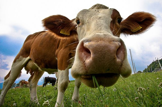 Mucca scappa dall'allevamento: i social si muovono per salvarla