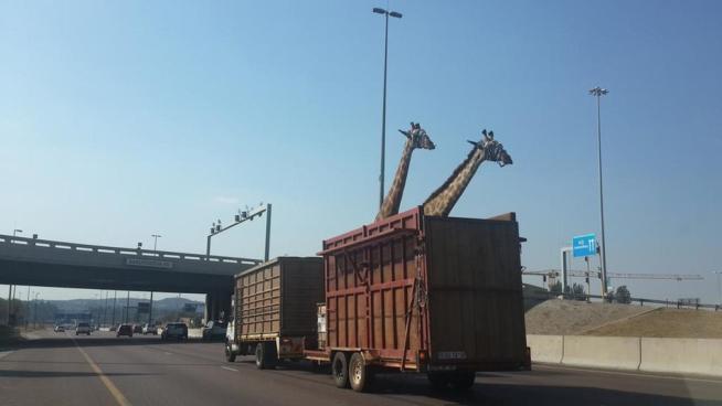 giraffe su camion in Sudafrica