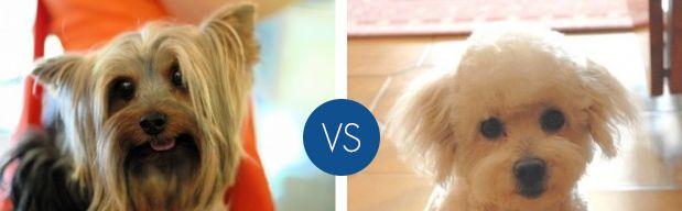 Quale cane di taglia piccola preferisci?
