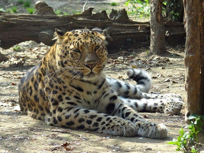 Leopardo dellAmur