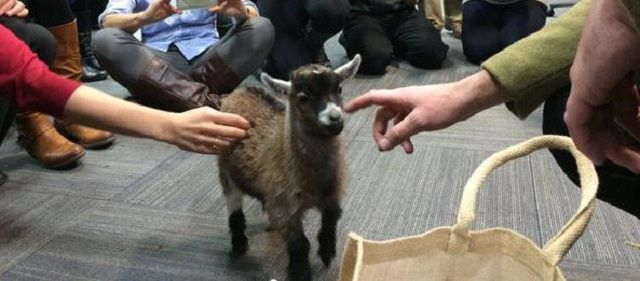 Benjamin la capra