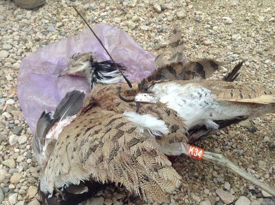 Afghanistan: uccello imbottito con bombe ucciso dalla polizia
