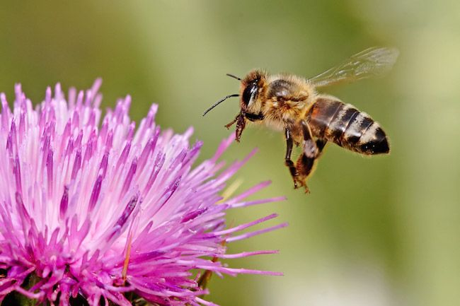 Strage di api in Calabria per salvare il miele: è polemica