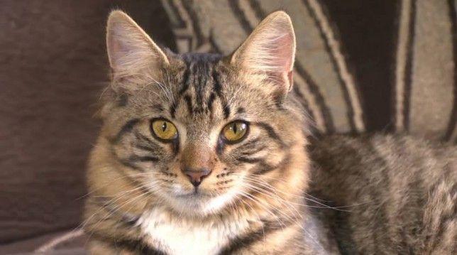 Mittens, gatto ermafrodita in attesa dell'operazione di riassegnazione di genere