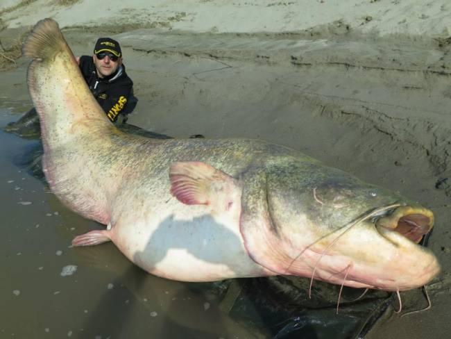 Siluro da record sul Po pescato da Dino e Dario Ferrari: 127 Kg per 267 cm