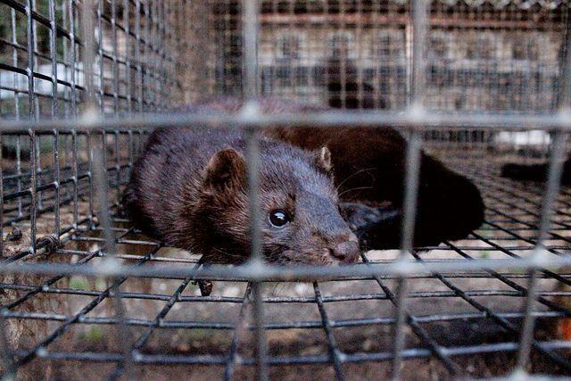 Allevamenti di visoni per le pellicce: l'investigazione di Essere Animali