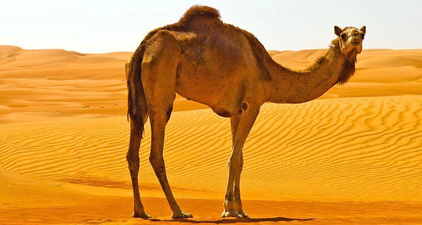 Innamorato la chiede in sposa al padre in cambio di 10 cammelli: arrestato per stalking