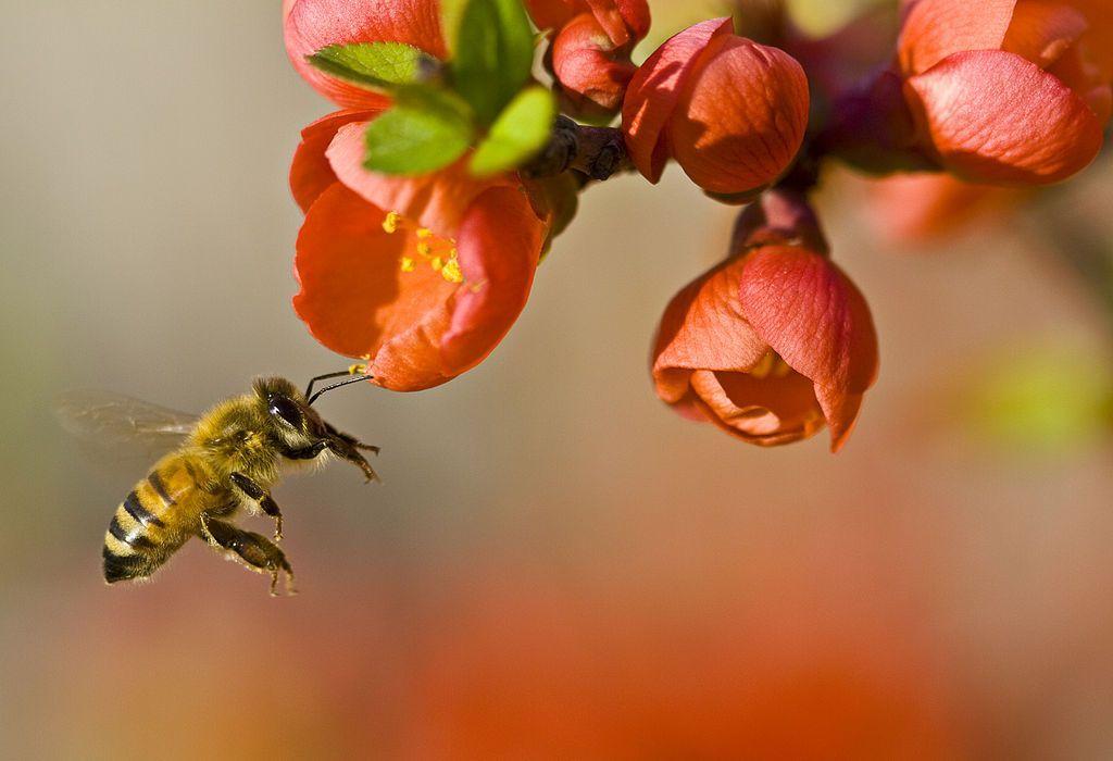 ape impollinazione