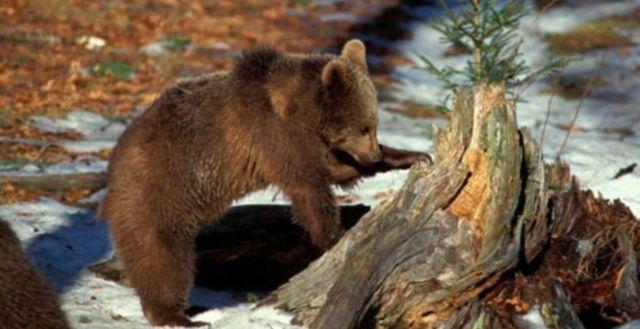 cucciolo orso marsicano foto repertorio