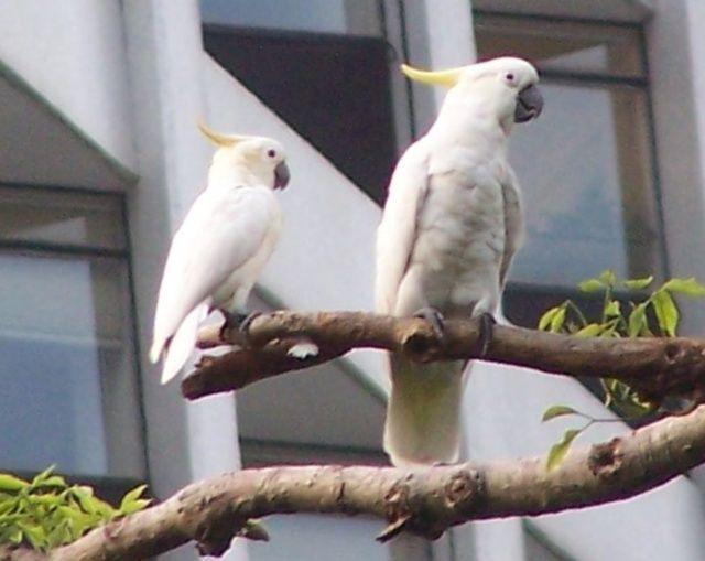 pappagalli cacatua