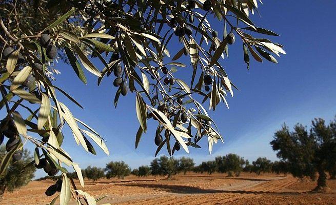 Xylella in Salento, i danni che stanno mettendo in ginocchio la Puglia