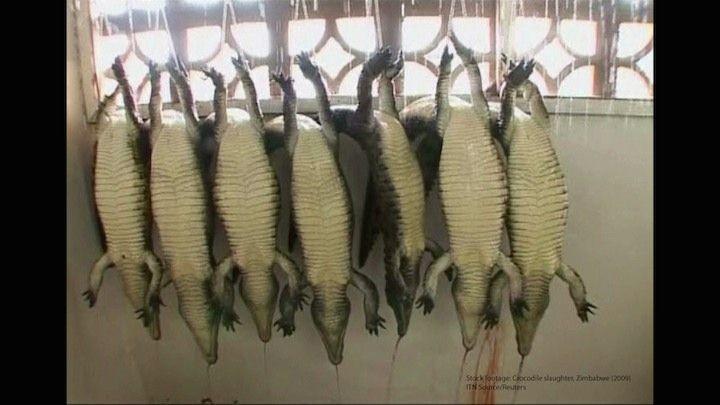 coccodrilli maltrattati peta