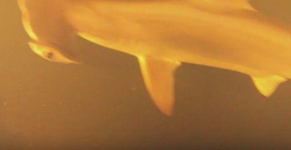 Squali vivi in un vulcano sottomarino: la scoperta di un team di scienziati