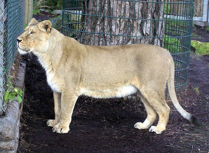 leonessa foto repertorio