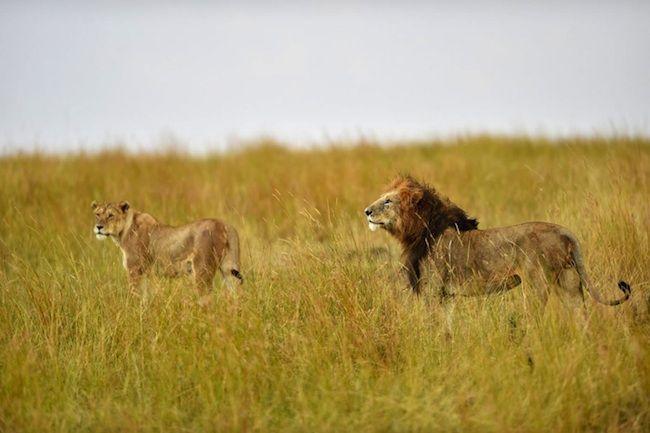 Bracconiere viene ucciso da un leone durante una battuta di caccia illegale