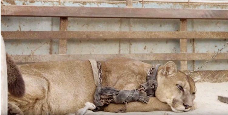 puma mufasa in catene