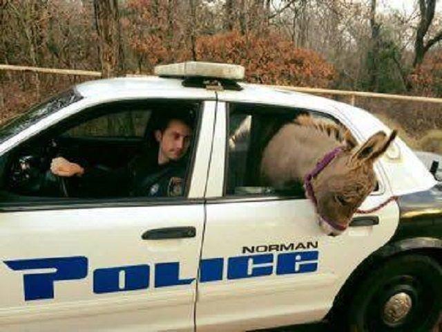 Asino su auto polizia