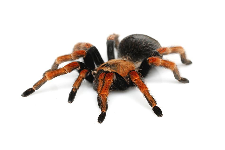 Mostra ragni a Genova: al Museo Civico di Storia Naturale 'Spiders', fino al 5 giugno 2016