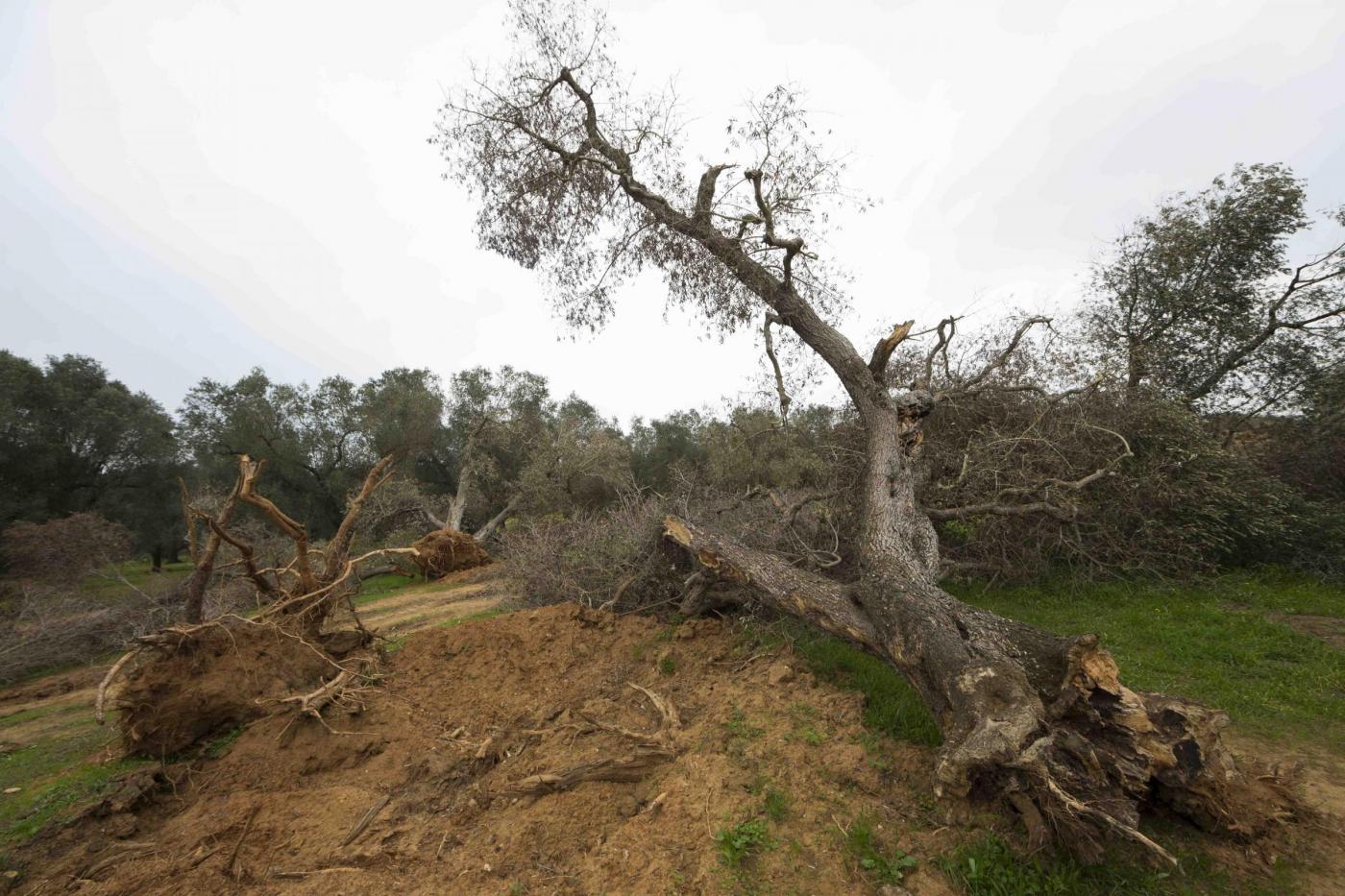 Alberi di ulivo eradicati nell'ambito del Piano Siletti contro la Xylella fastidiosa
