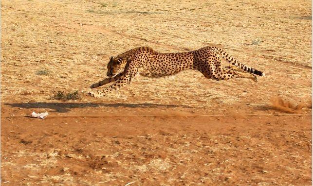 ghepardo in azione