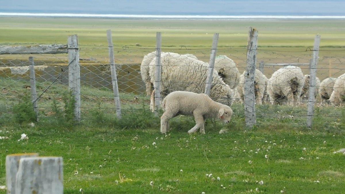 allevamento pecore cile