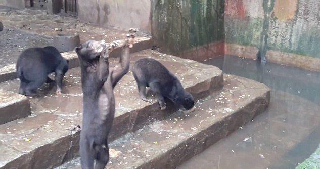 orsi affamati zoo indonesia