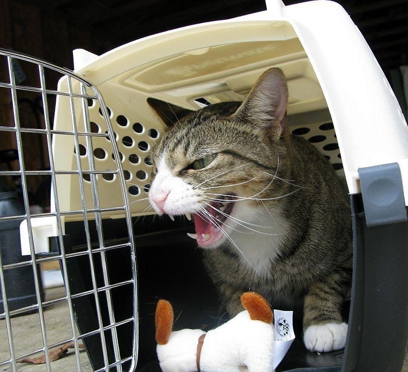 gatto trasportino auto