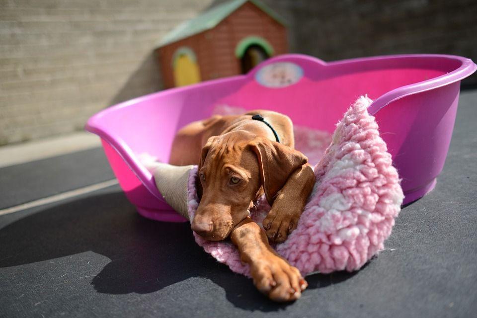 cane febbre cosa fare