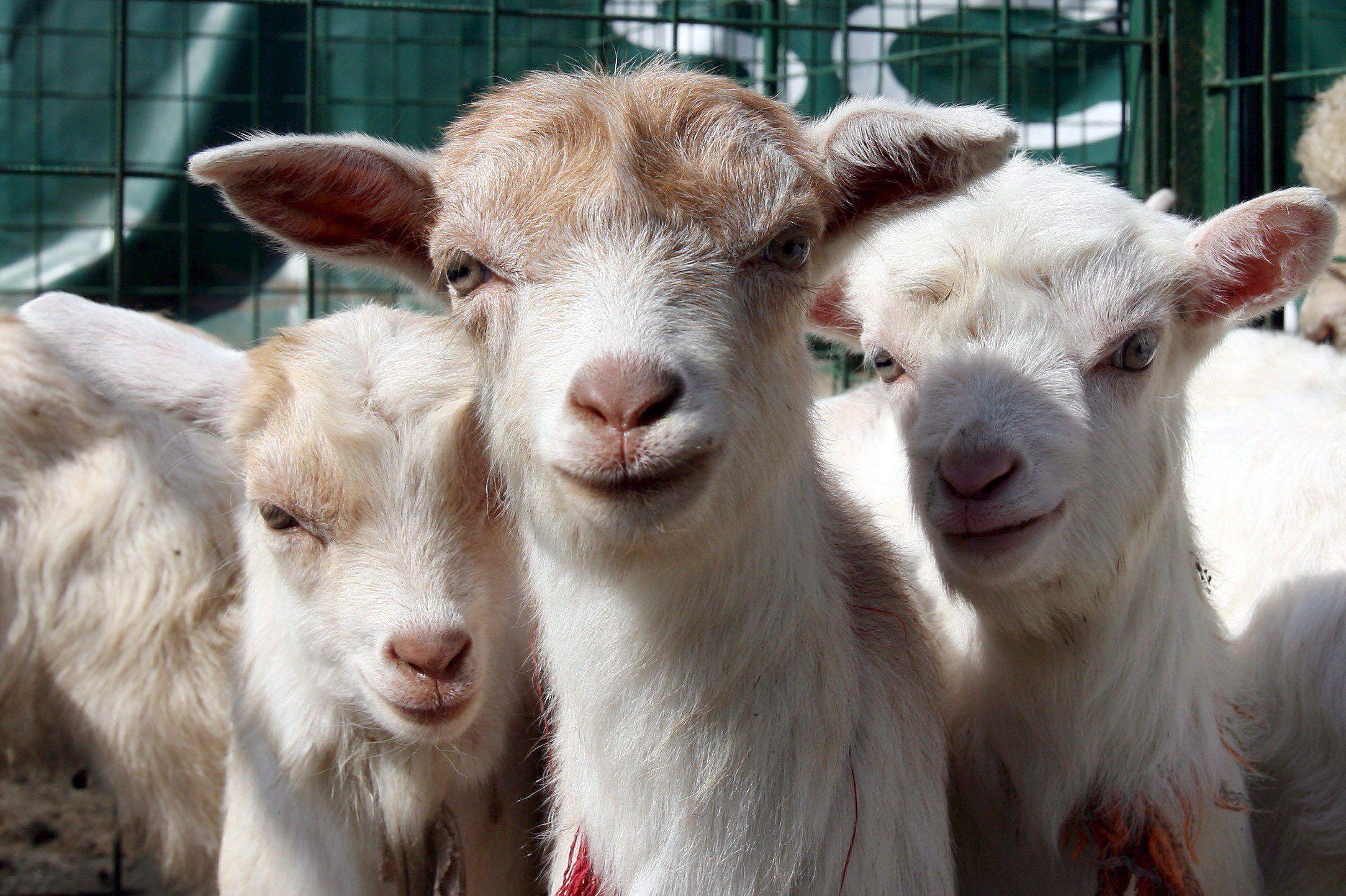 perché si dice questione di lana caprina