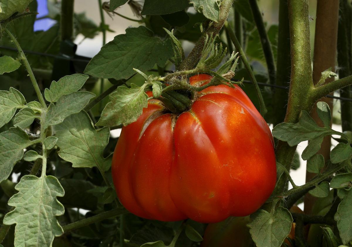 Una mostra mercato per l'antico pomodoro Riccio di Parma