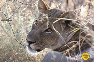Un giorno di safari nel Kalahari Centrale in Botswana