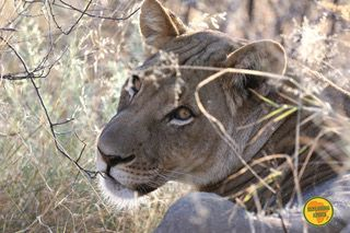 leonessa kalahari