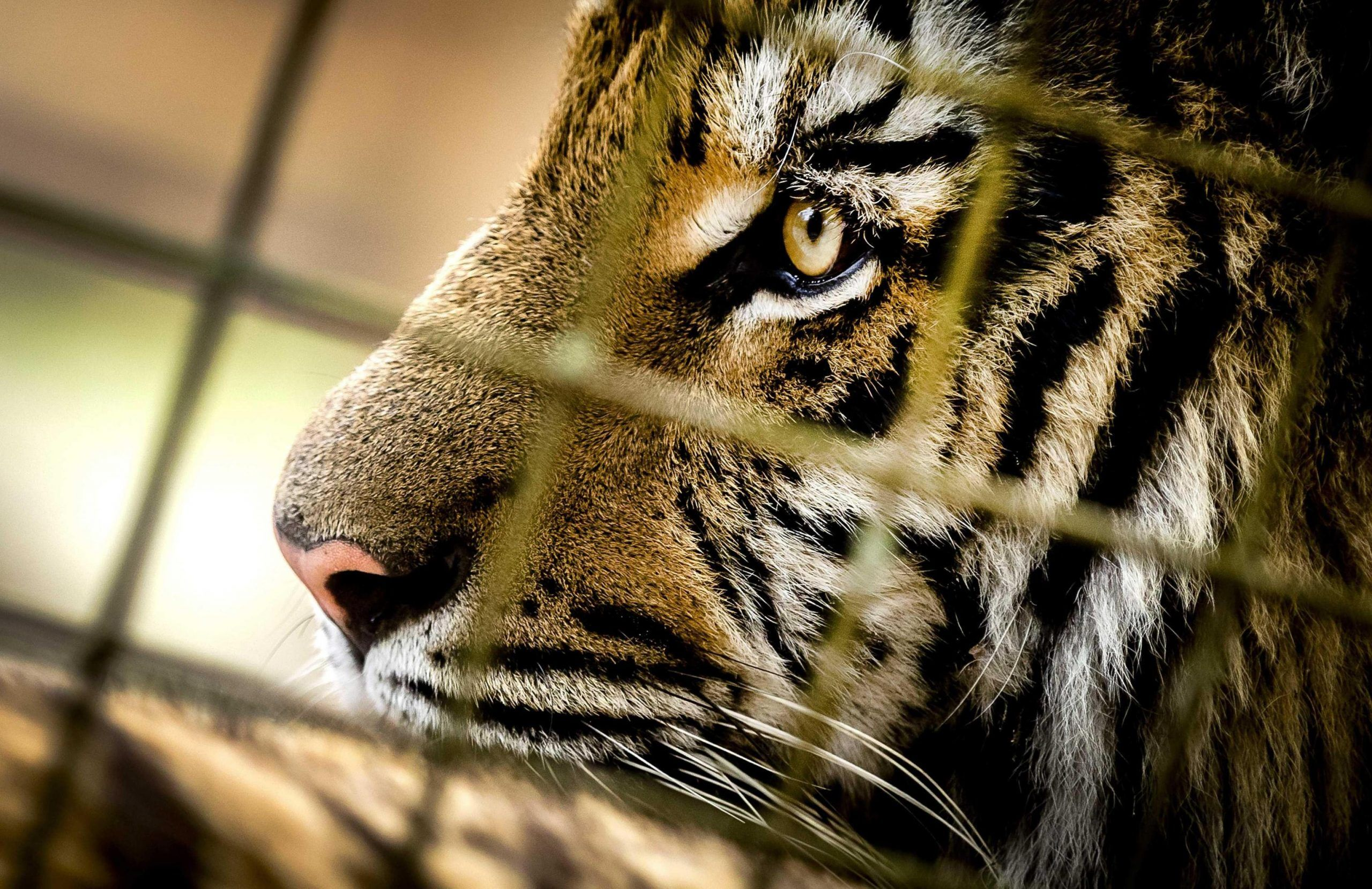 Rescued tigers from the war damaged zoo Magic World near Aleppo