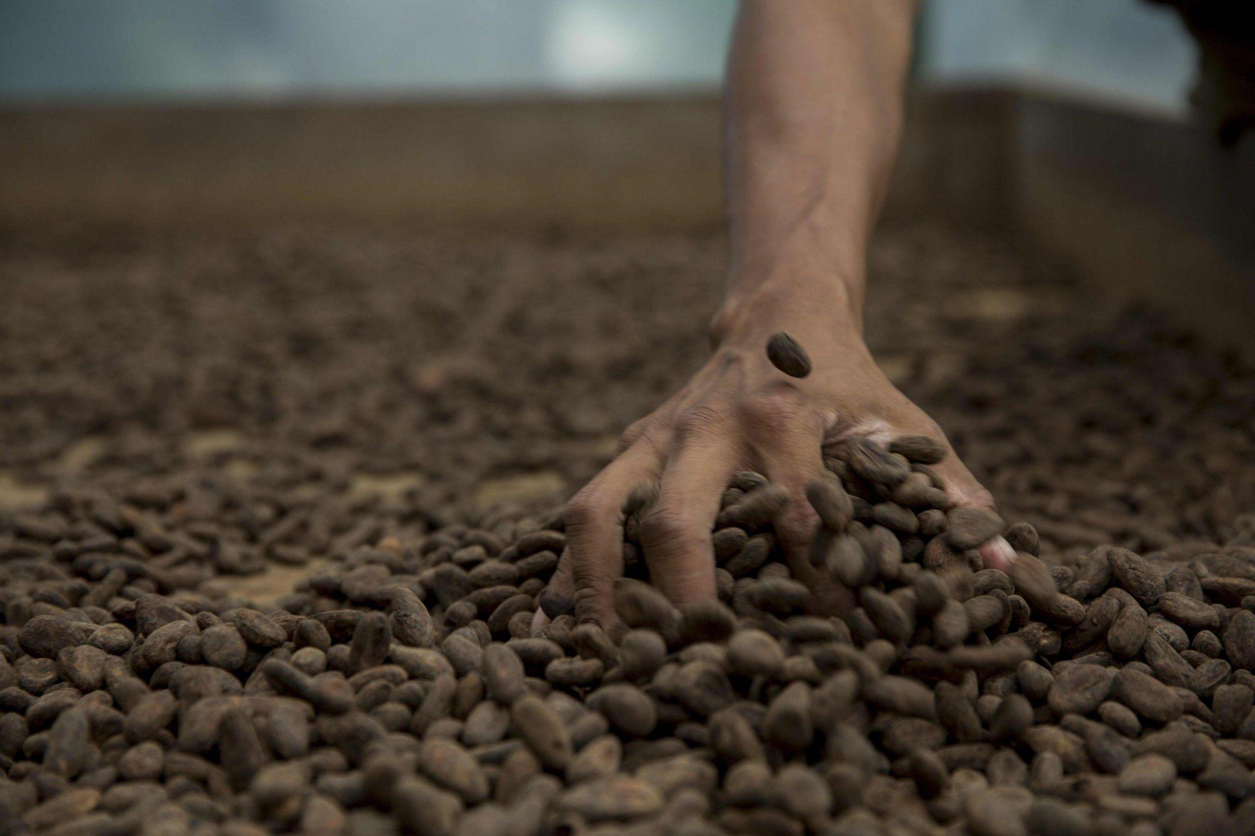 Il cacao rischia l'estinzione: niente più cioccolato tra 40 anni