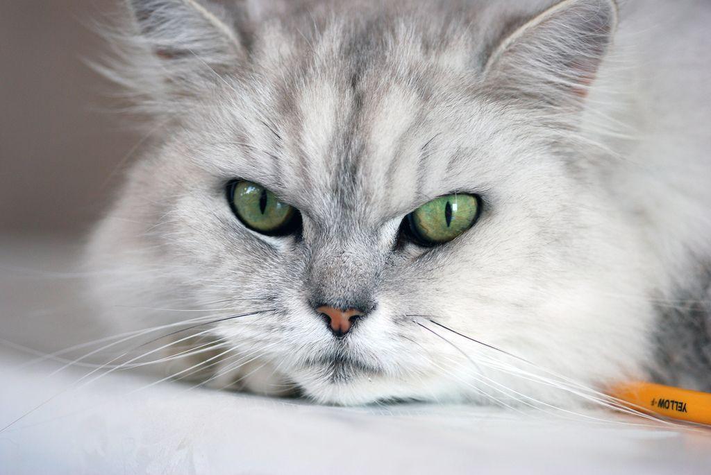 Razze di gatto a pelo lungo