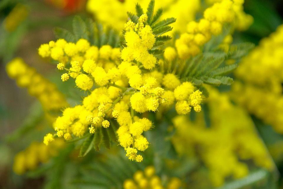 Immagini mimose 8 marzo