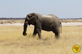 elefante etosha