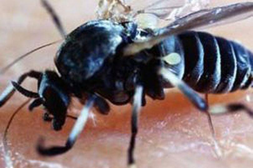 mosca di Blandford