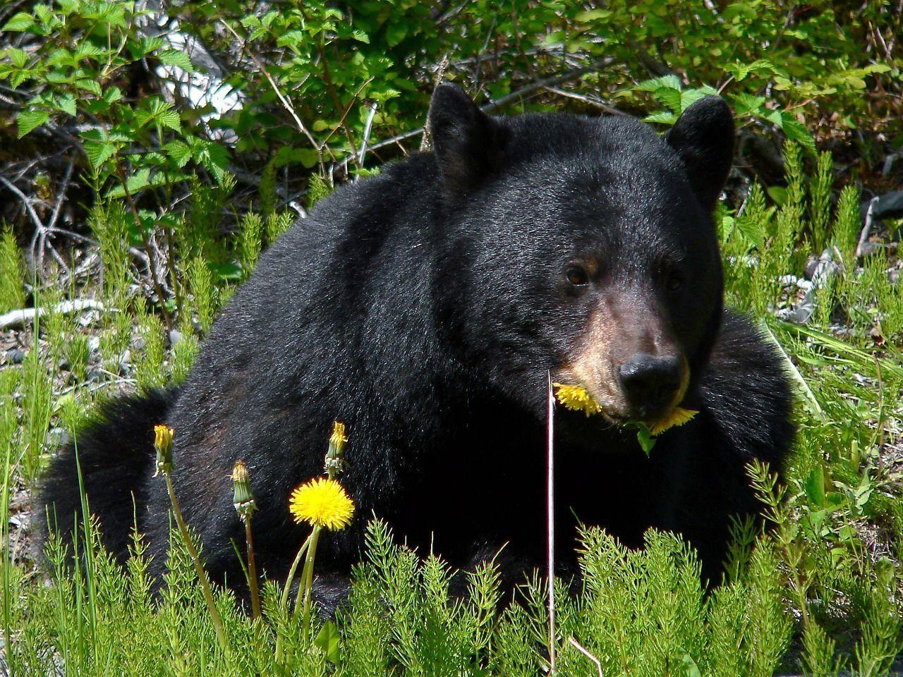 Compra un cane e scopre che è un orso nero asiatico: è arrivato a pesare 113 kg