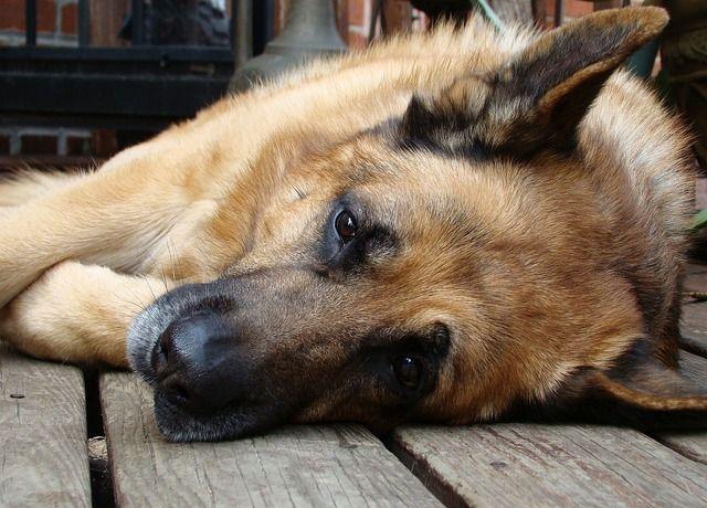 Pisa polpette avvelenate fanno strage di cani 8 pastori tedeschi uccisi