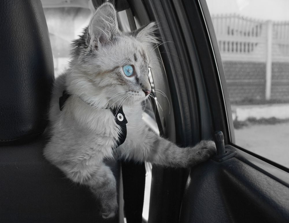 gatto chiude fuori i padroni dall'auto