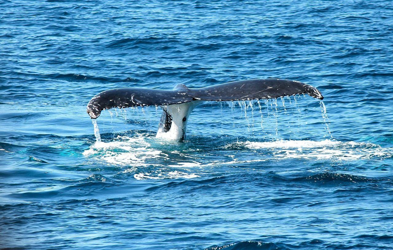 Balena avvistata nel mare della Calabria: 'È grande il doppio della nostra barca'
