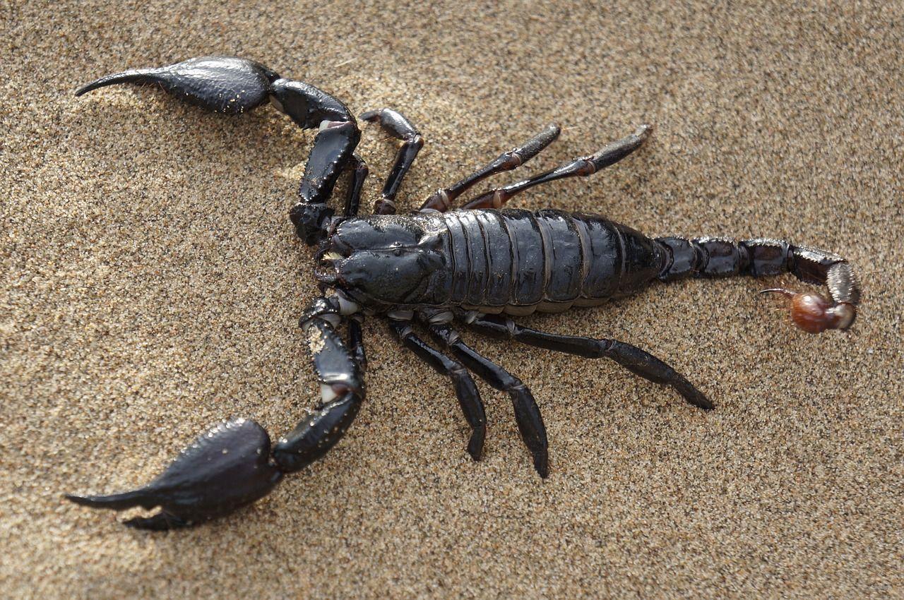Brasile neonata di 3 giorni punta sette volte da uno scorpione infilatosi nel pannolino