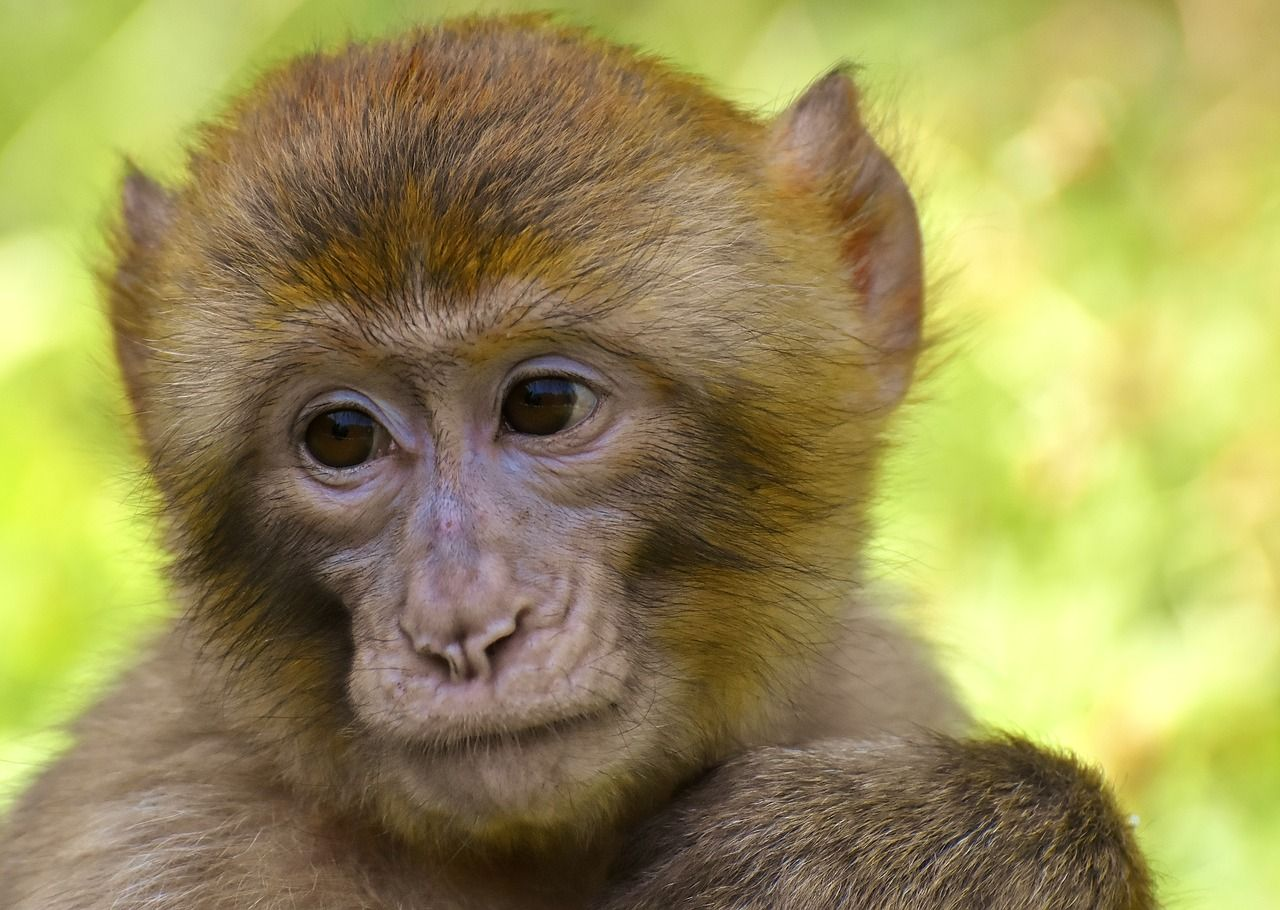 Vaiolo delle scimmie intacca l'Europa primo caso nel Regno Unito