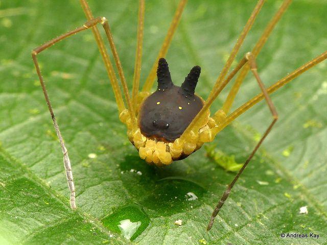 Metagryne bicolumnata: il ragno con la faccia da cane