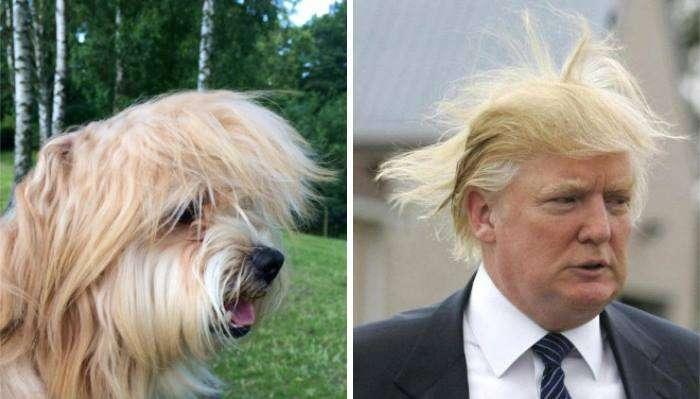 Cane che somiglia a Trump